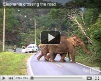 Video of Elephants